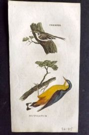 Brightly (Pub) 1815 Hand Col Bird Print. Creeper. Nuthatch
